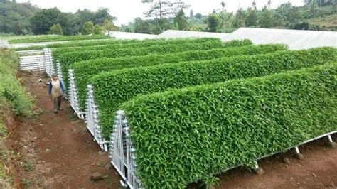 Harga Bibit Sawi Dan Kangkung cara menanam kangkung hidroponik secara sederhana hidropedia