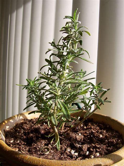 grow rosemary indoors rosemary plant plants