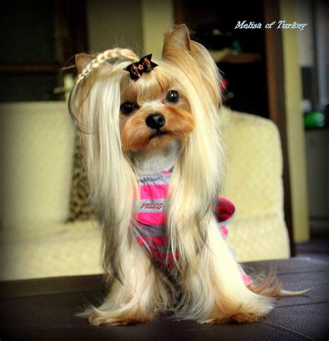 haircuts for toy yorkies best 20 yorkie hairstyles ideas on pinterest yorkie
