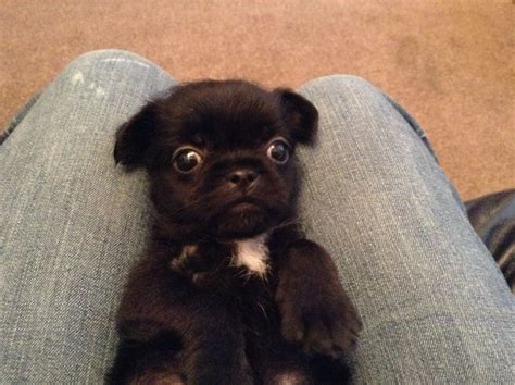 miniature pug miniature pugs for adoption breeds picture