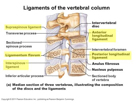 sections of the vertebral column for the lecture final exam ppt video online download