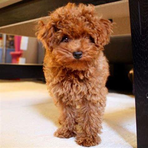 maltipoo puppy breeders best 25 maltipoo puppies ideas on maltese poodle puppies maltese poodle