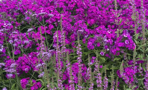 Purple Flower Garden Free Stock Photos Rgbstock Free Stock Images Purple Flowers Micromoth August 05