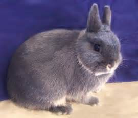 netherland rabbit colors bunnies gray and brown page 3 pics about space