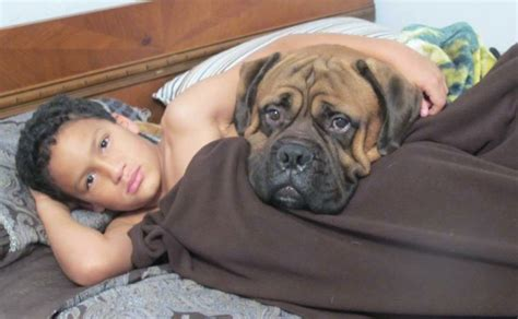 bullmastiff puppies for sale in ohio peerless bullmastiffs bullmastiff bulldog puppies for sale ohio michigan
