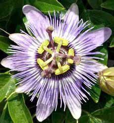 fiore frutto della passione frutto della passione o maracuja o granadilla