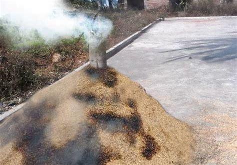 Sekam Padi Bakar 10 tahap mudah membuat arang sekam sekam bakar