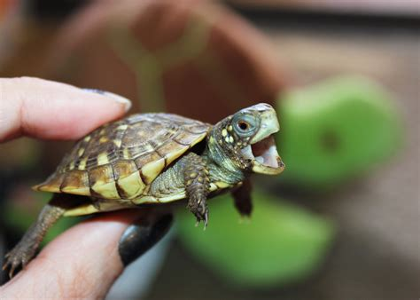 images of turtles baby turtles images search