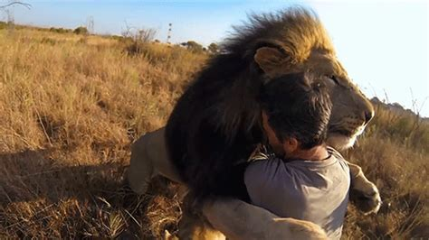 comfort hug gif 15 minutes of lions in slow motion on a gopro cam is pure