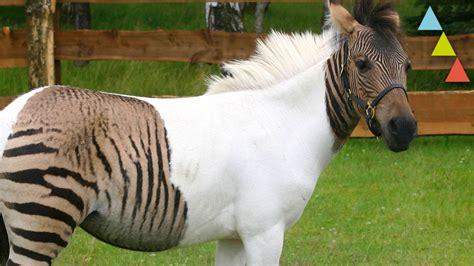 fotos animales hibridos reales los animales h 237 bridos reales m 225 s curiosos youtube