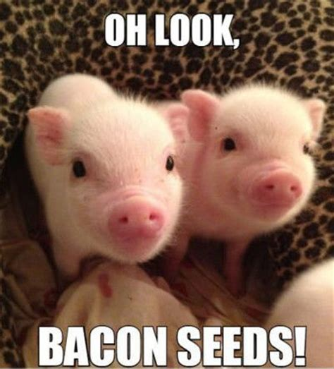 Funny Bacon Meme - funny memes bacon and seeds on pinterest