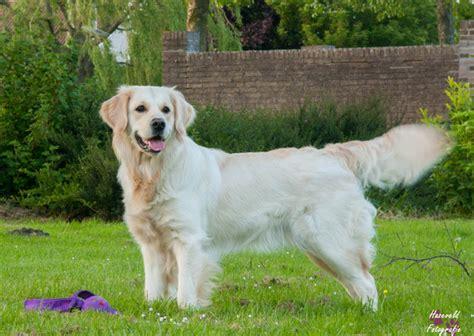 karakter golden retriever golden retriever hondenforum