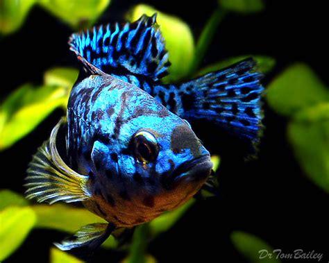 Electric Blue Bigsize dempsey fish for sale aquariumfish net