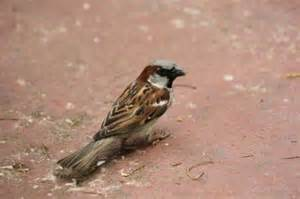 house sparrows extension