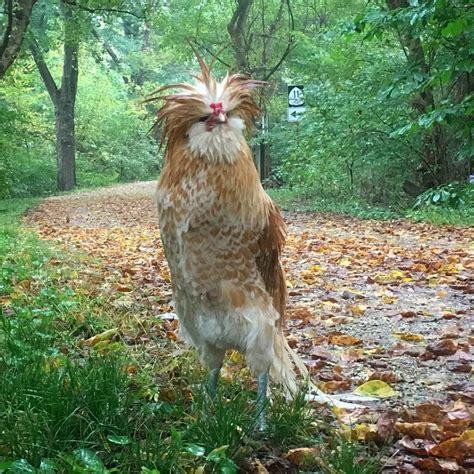 Bulu Emas pernah melihat ayam bulu terbalik seekor ayam jantan