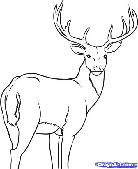 Sketches To Trace by Pictures Whitetail Deer Drawings To Trace Drawing