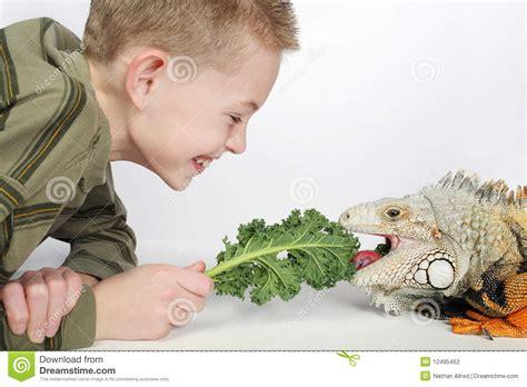 alimentazione iguana iguana d alimentazione fotografia stock immagine 12495452