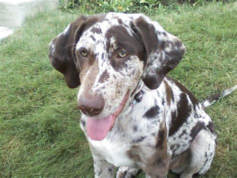 Cur Cur file my smiling catahoula cur smokey 9 months jpg wikimedia commons
