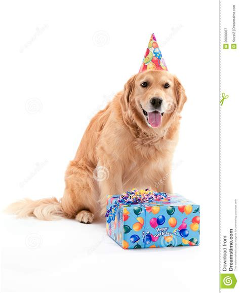 golden retriever birthday pictures golden retriever s birthday stock image image of present 20080087
