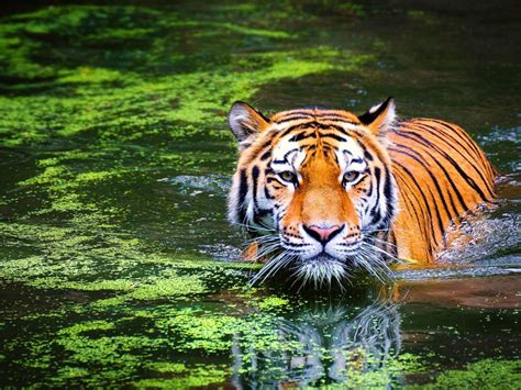 animal bengal tiger swimming  ultra hd wallpaper
