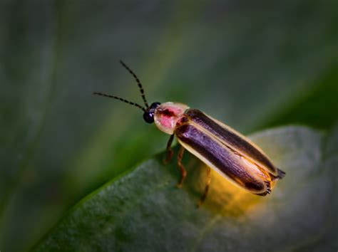 Lightning Bug Lightning Bug Or Firefly