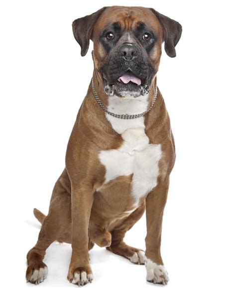 boxer pit puppies unravelling the personality traits of a boxer pitbull mix