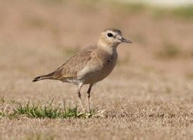mountain plover identification all about birds cornell