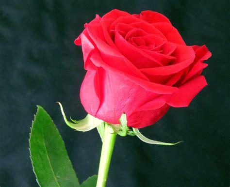 Merah Ros bunga warna merah desainrumahid