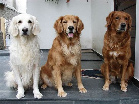 golden retriever colors the different shades i want one in each color