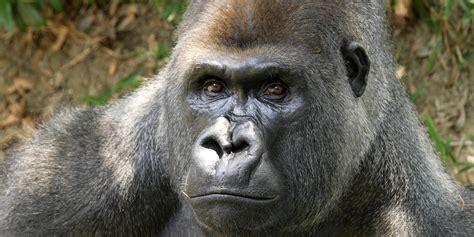 Adopt a Western Lowland Gorilla   Smithsonian's National Zoo