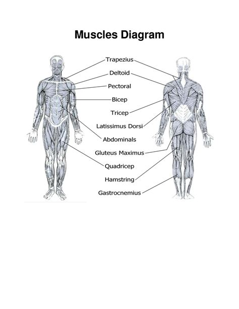 diagram of printable diagrams of muscles diagram site