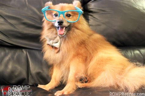 rescue a pomeranian chicago pomeranian rescue archie available for adoption romp italian greyhound