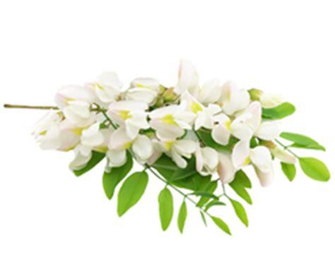fiori acacia fiori di acacia portanatura frutta e verdura bio a
