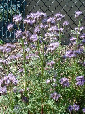 phacelia tanacetifolia lacy phacelia from gold rush nursery