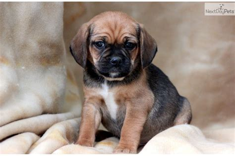 puggle dogs puggle puppy for sale near lancaster pennsylvania bff30856 a9a1