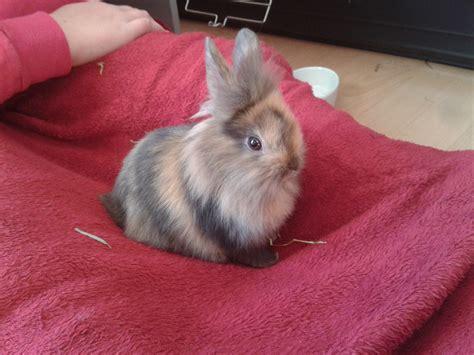 wann sind kaninchen ausgewachsen wie gro 223 wird ein l 246 wenkopfkaninchen gr 246 223 e kaninchen