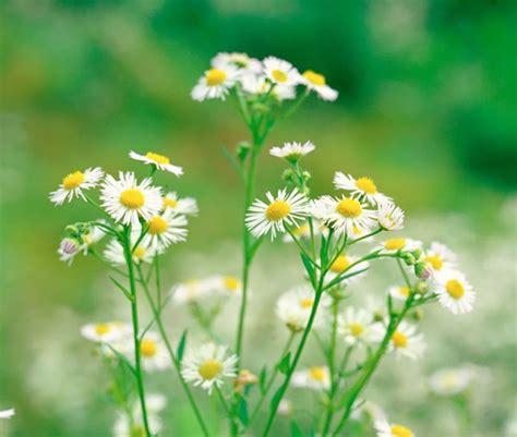 Chrysanthemum by