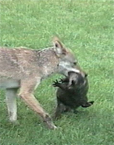 coyote attacks object moved