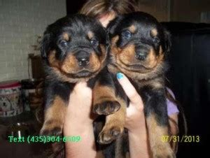 free puppies concord nc yorkies concord nc asnclassifieds