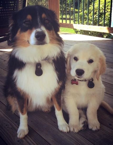 miniature golden retriever australia 17 best images about mini dogs on mothers miniature and i want