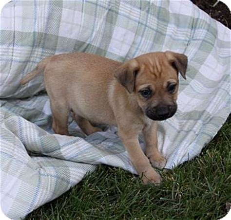 beagle boxer mix puppies bullwinkle adopted puppy newport ca beagle boxer mix