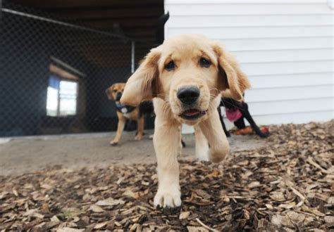 puppy playtime puppy playtime elbridge doggie daycare sets grand opening accepting applications