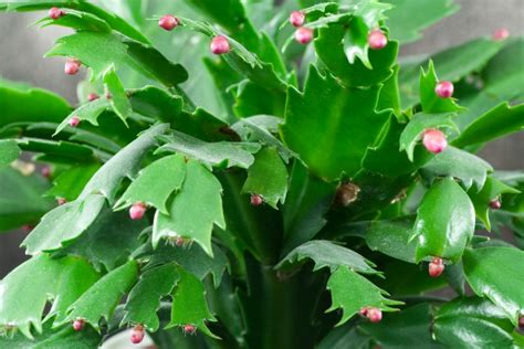 how much darkness do christmas cactus need how to get your cactus to bloom