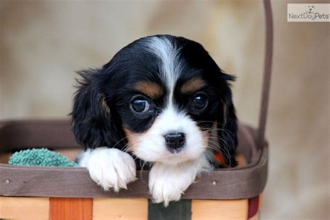 king charles puppy cavalier king charles spaniel puppy bright is happy