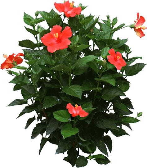 Plants That Require Little Sun by Hibiscus Plant Identify And Care For Houseplants