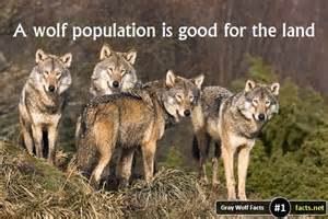 Gray wolf facts 19 facts about the gray wolf facts net