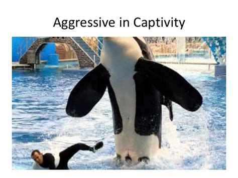 Orcas In Captivity Essay by Sea World