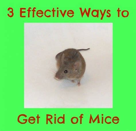 how to easily get rid of mice in your home hubpages