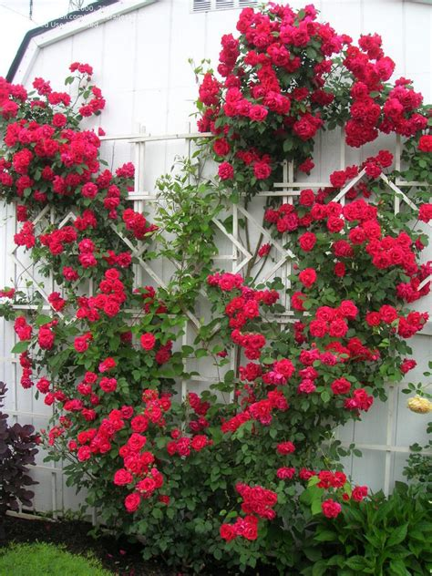 plantfiles pictures hybrid multiflora large flowered climbing rose blaze rosa by jess2132000
