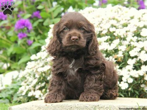 how much are cocker spaniel puppies mike cocker spaniel puppy for sale in gordonville pa greenfield puppies